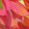 Detail: 'Yule (flor de Noche Buena)'